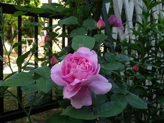 mary rose.jpg